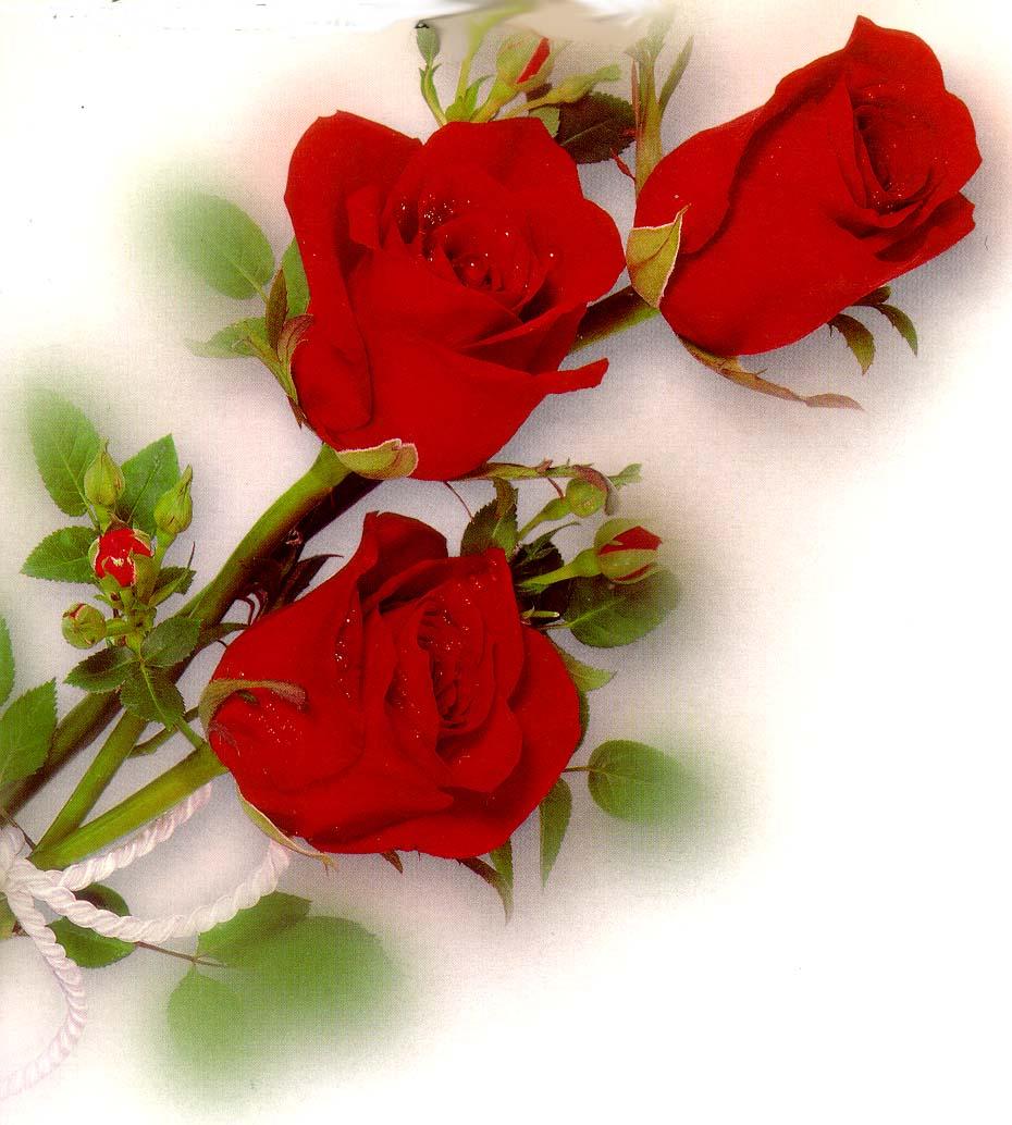 Одиночные розы открытки 4